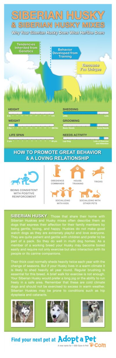 Everything you ever wanted to know about Husky and Husky mixes. www.adoptapet.com