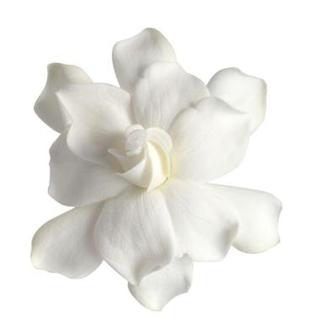 """Despite their small size, dwarf gardenias (Gardenia jasminoides """"Radicans"""") pack a punch in the landscape. Although the ornamental perennial plants only grow 2 to 3..."""