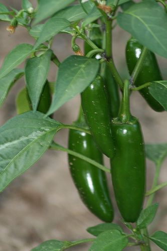 Growing Jalapenos in a Pot:  Start to finish, from seed to harvest
