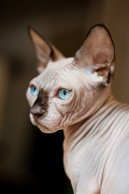 Hairless Sphynx Cat yes please