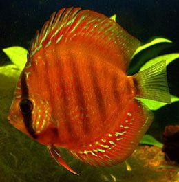 Alenquer Red Discus (FW)