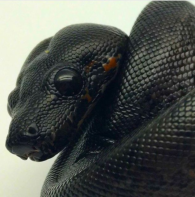 Boa constrictor morph Photo credit: boapit_morphs