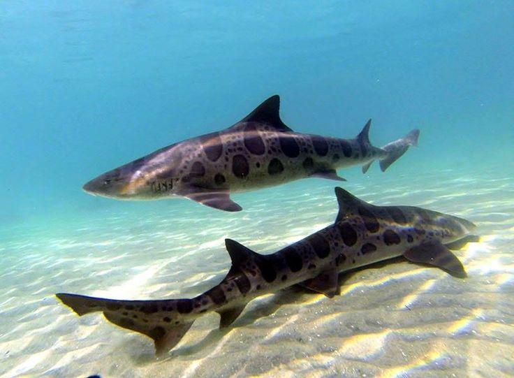 Leopard sharks swimming in opposite directions. #sharkweek   Poulsbo Children's Dentistry   #Poulsbo   #WA   www.poulsbochildrensdentistry.com