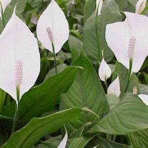 Mejores 91 im genes de plantas s en pinterest tipo de for Plantas perennes exterior