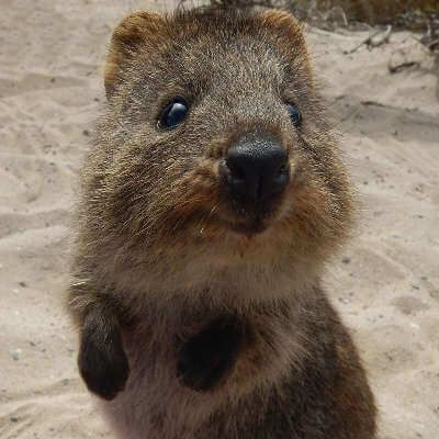 Best Quokkas Images On Pinterest Nature Beautiful And Cats - 15 photos that prove quokkas are the happiest animals in the world