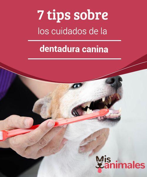 7 tips sobre los #cuidados de la dentadura #canina  La #igiene bucal del perro de ser un #tema de suma importancia para los propietarios de los canes. Con ella, es posible evitar daños en la placa dental del canino. Esto evitará el mal aliento, y otros #problemas dentales.
