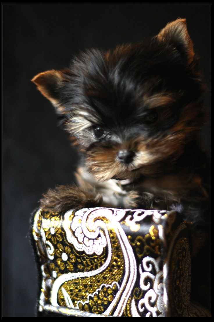 Wild West Yorkies, Txyorkie.com, Yorkie Puppies for sale in Texas, past puppies,…  – the cutest teacup dogs