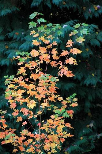 Burcina Foliage 2012
