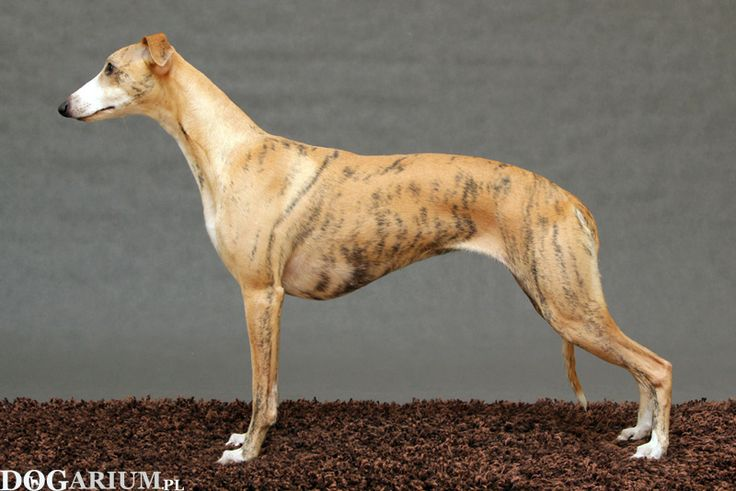 whippet Tappinskis RUBI FOR DOGARIUM 'Rubi' - 1 year