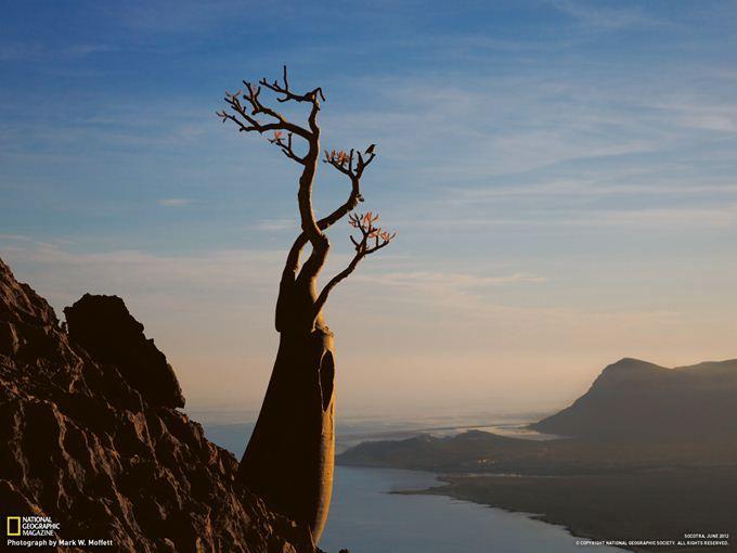 摩訶不思議なソコトラ島 5 断崖に根を下ろすアデニウム