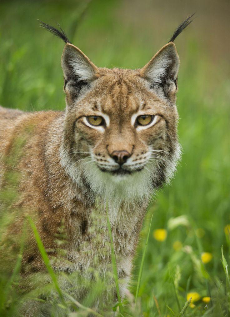 European Lynx   Cats   Cats, Animals, Big cats