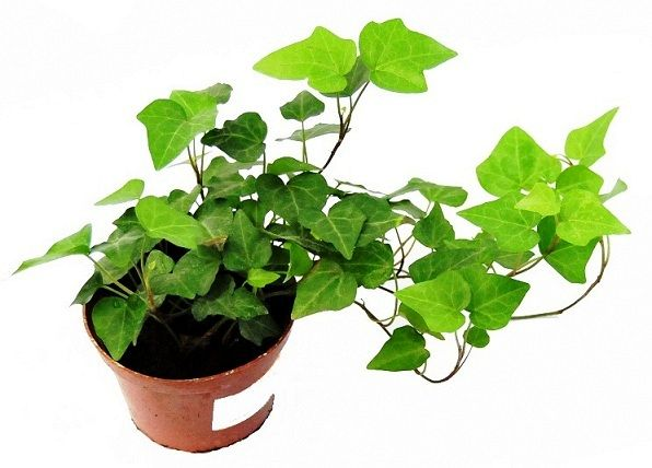 Prozdrowotne Rosliny Doniczkowe Ktore Warto Miec W Domu Herbs Plants