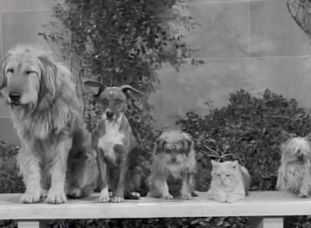 """Elly May's critters, including her dogs and orange tomcat Rusty (played by cat actor Orangey) worry about her broken heart in The Beverly Hillbillies episode """"Dash Riprock, You Cad"""" (1965)."""