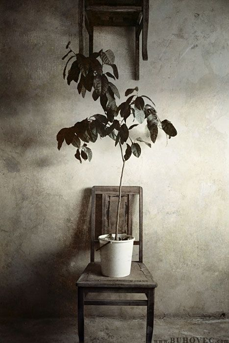 лимонное дерево /