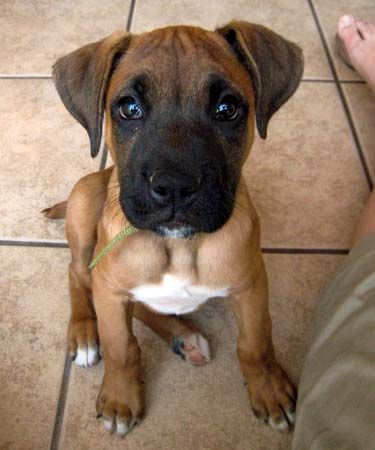 Lab Boxer Mix... okay babe this is one dog i want if i cant get a hound!!