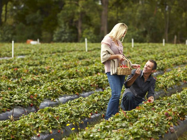 Sink your teeth into some farm-fresh produce at these farms for fruit-picking near Melbourne.