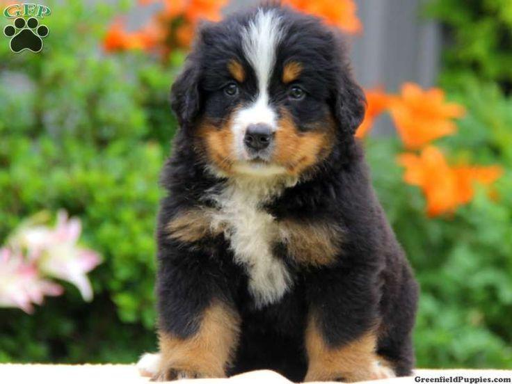 ca54b226ec41bdf50f64b368100d5dec bernese mountain dogs puppies for sale