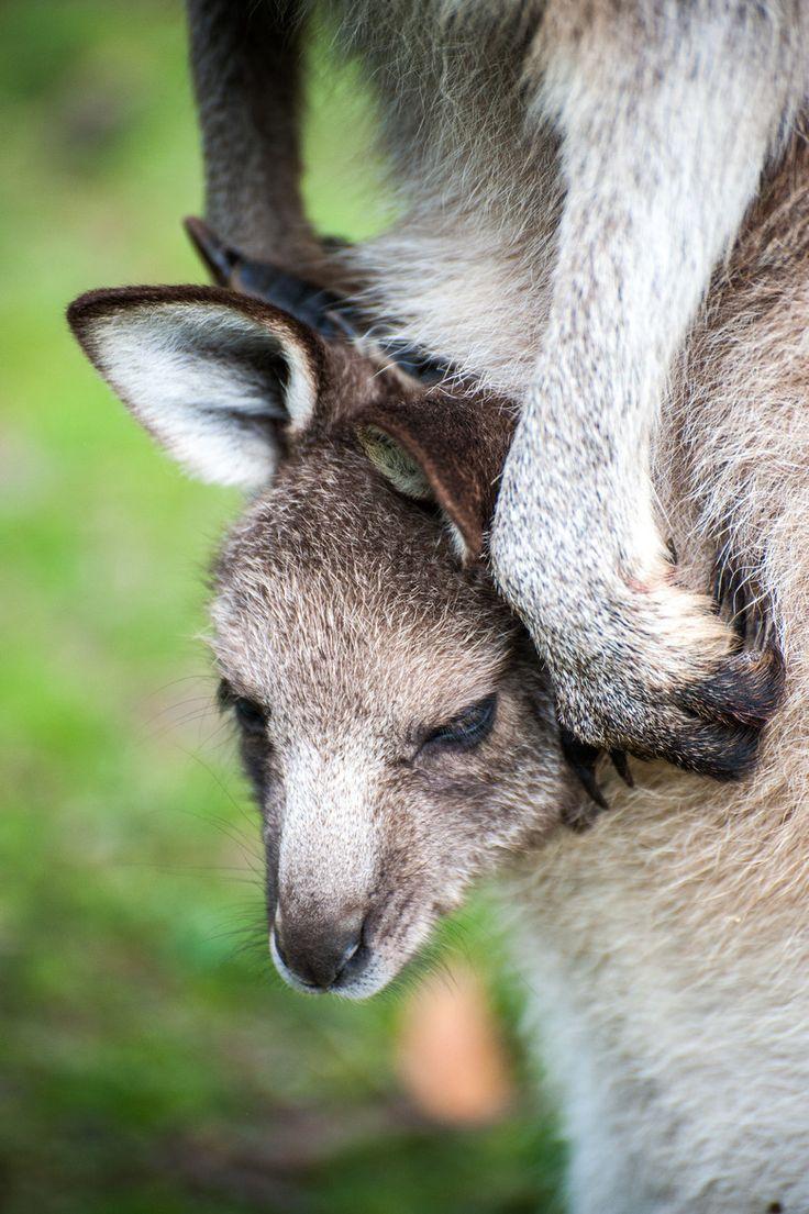Little Joey Kangaroo