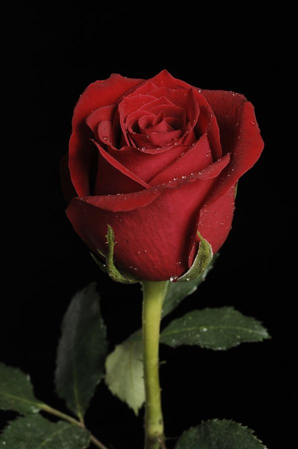 Dark Red Rose by Cristobal Garciaferro Rubio, via 500px