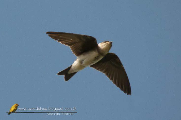 Golondrina parda (Brown-chested Martin) » Focusing on Wildlife