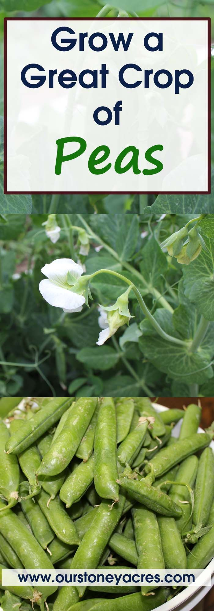 Growing peas in your garden is one of the easiest things you can do in your garden. This post will tell you every thing you need to know about growing peas. Read this post to learn how to grow your best crop of garden grown peas ever!