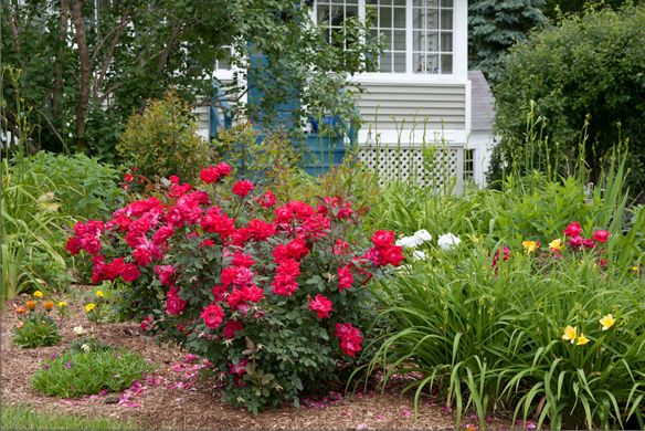 Front Yard Landscaping Roses : Knock out? roses thrive in the front yard of this garden alongside
