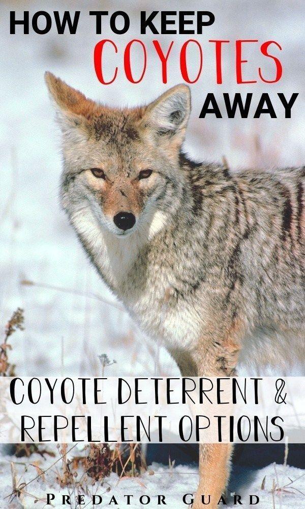 How To Keep Coyotes Away (Coyote Deterrent & Repellent