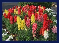 Zenfidan +-200 Adet Aslanağzı Çiçeği Tohumu Paketli