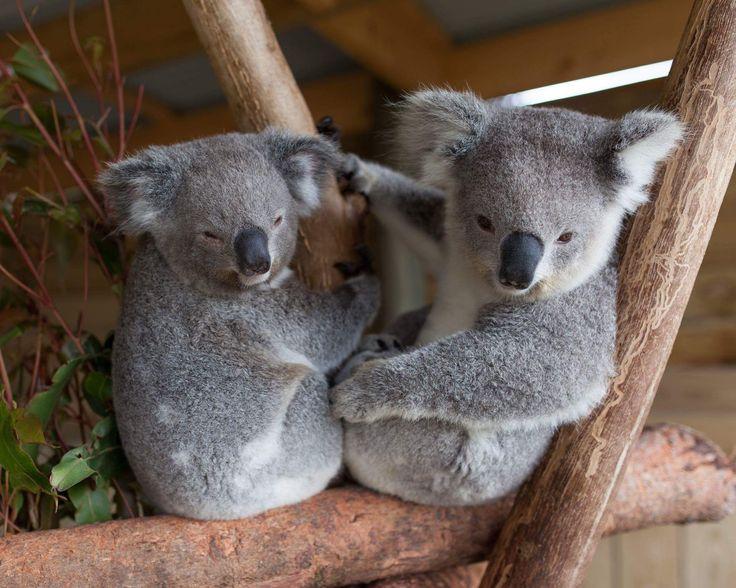 Koala and panda love