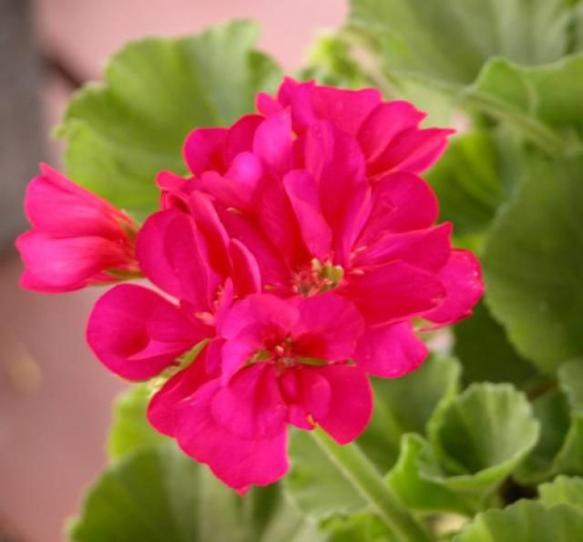 157 best images about pelargonium on pinterest april snow geraniums and hot butter - Overwintering geraniums tips ...