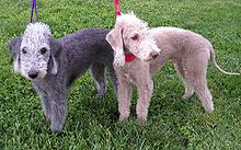 Bedington Terrier: Calmer and less boisterous than many other terriers, the Bedlington Terrier is known as a dog with a good nature and mild manners.[citation needed] In addition, it is fearless and fast enough to bay a badger or a fox, quick and agile enough to course a hare and is a first-rate water dog.