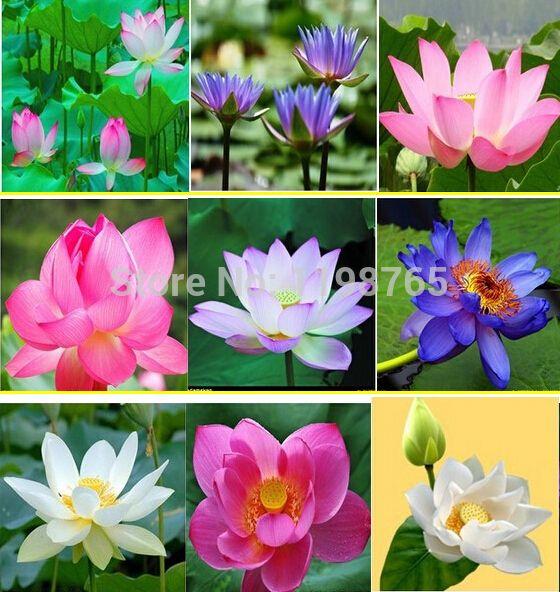 10 шт. 10 видов семена чаша Лотоса бонсай цветок лотоса растения водяной лилии семена лотоса Водные растения, Как посадить дома сад