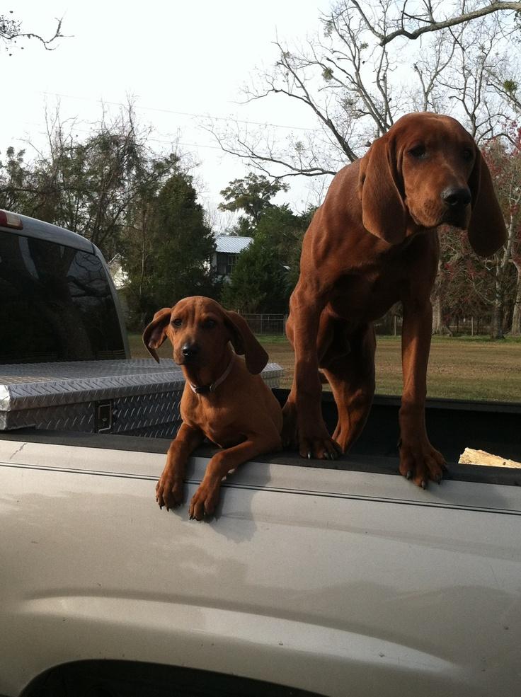#Redbone Coonhounds