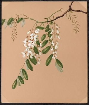 From the collection at Andersen Horticultural Library. Agnes Williams (1860-1946), a watercolorist from Bucks Co., PA, created a wildflower portfolio during the 1880s and 1890s. Emma painted Robinia pseudoacacia (False Acacia) in New Hope, PA. It is dated May 31, 1885.