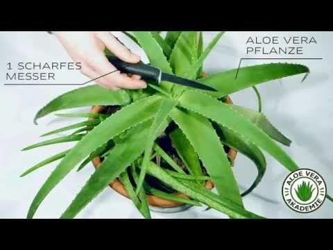 Aloe vera Gel kann viele Hautpflegeprodukte ersetzen. Die ergiebige und pflegeleichte Pflanze lässt sich auch ohne Grünen Daumen ganz einfach züchten.