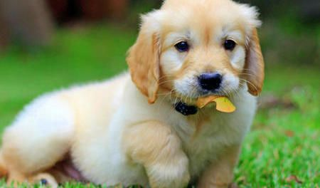 anak anjing golden retriever yang lucu banget
