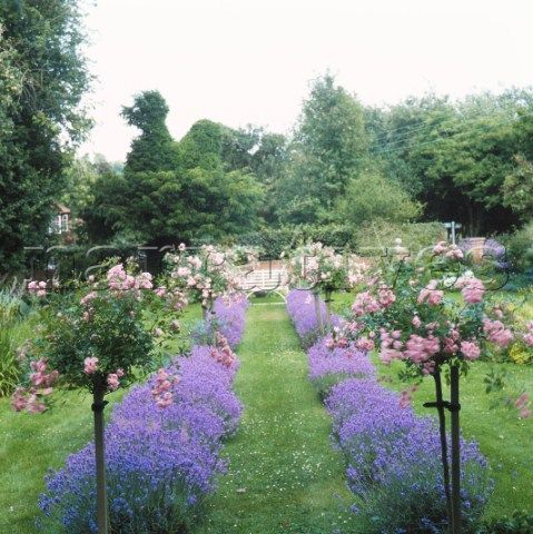 Lavender:  Garden with lavender border and standard roses.