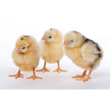 Day old baby Exchequer Leghorn Chicks for sale at Meyer Hatchery.
