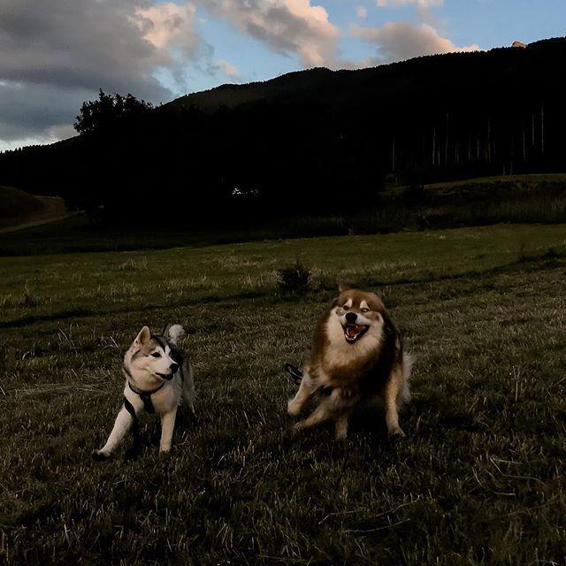Wenn Teddy Seine Narrischen Hat Und Sky Nicht So Recht Weiss Was Sie Mit Ihrem Verruckten Bruder Anfangen Soll Hunde Instagram Bruder