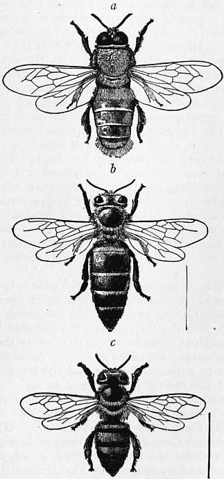 The Project Gutenberg eBook of Encyclopædia Britannica, Volume III Slice V - Bedlam to Benson, George. Fig 1. Honeybee a. male drone b. queen c. worker