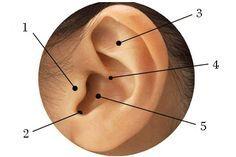 Na imagem acima destacam-se 5 pontos da acupultura  Ponto 1 Ponto usado na auriculoterapia para dependências (químicas), e compulsões (todo tipo) .  Ponto 2 é estritamente para uso endócrino  Ponto 3 Principal ponto chines,para acalmar o sistema nervoso, febre.  Ponto 4 É o principal ponto de equilíbrio e refêrencia de tratamento do corpo na auriculomedicina francesa.  Ponto 5 Sistema respiratório superior (traqueia,brônquios etc)