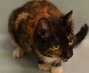 Coral – A1099312 - 3y F Tortie FELV+  DSH -  CORAL is being housed at the offsite quarantine facility for cats exposed to Avian Influenza. She has been cleared of influenza and is ready to find a great new home, but unfortunately she tested positive for FELV. If you can foster or adopt please let us know.