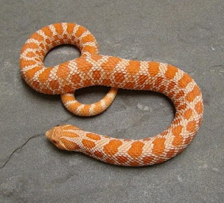 Belly Up: Why Do Some Snakes Have Elaborate Belly Patterns?