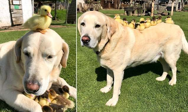 Elderly Dog Becomes Unlikely Stay At Home Father To Ducklings