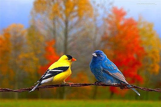 Венценосный голубь, настолько красивый, что вообще не похож на голубя. Великолепная корона голубя состоит из полупрозрачного, стоящего гребнем веера распущенных перьев. Водятся на воле в Новой Гвинее и соседних островах. Голубь и голубка, как и у других голубей,- это прочная пара, на всю жизнь…