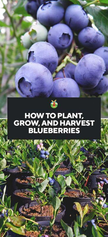 How to Plant, Grow, and Harvest Blueberries 3 Easy steps explaining how to grow blueberries will take you through planting, caring, growing, pest prevention and harvesting. This is a complete 'how-to' for everything about Blueberry gardening! #howtogrowagarden