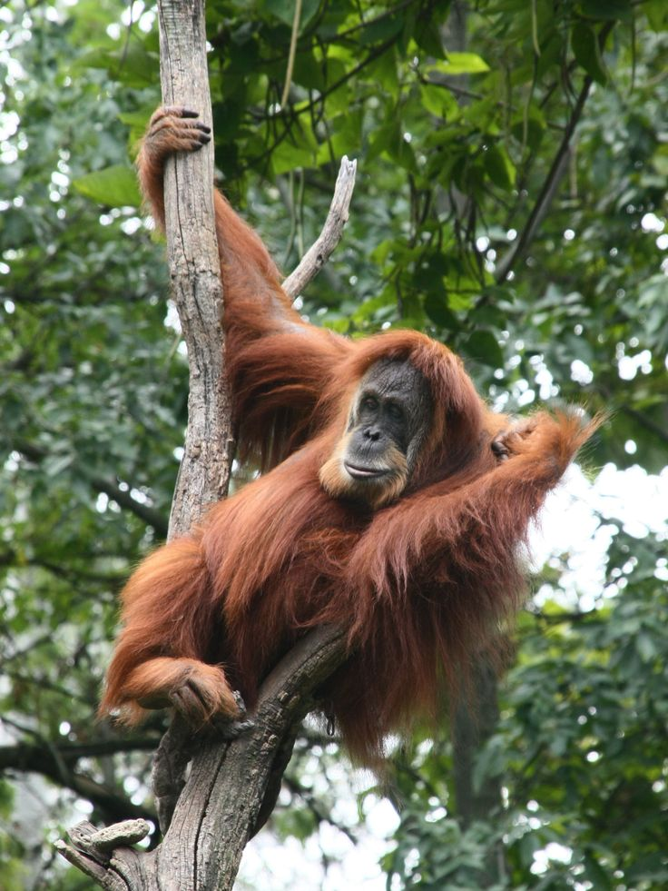 these wonderful primates that have mostly human DNA. The Sumatran orangutan (Pongo abelii) is one of the two species of orangutans. Found only on the island of Sumatra, in Indonesia, it is rarer than the Bornean orangutan.