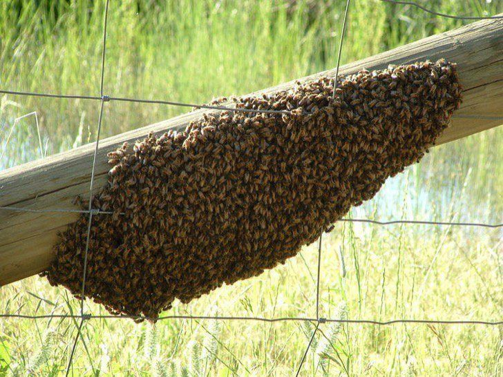 he Killer bee is a hybrid of European honey bees and African honey bees. It is aggressive and dangerous.