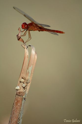 Broad scarlet (Crocothemis erythraea)