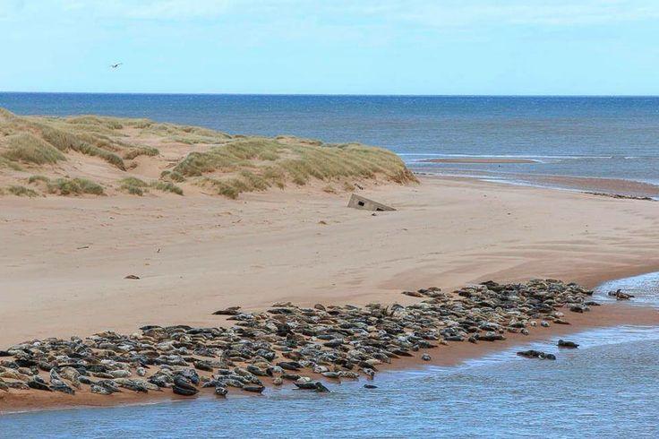Seals at Newburgh beach